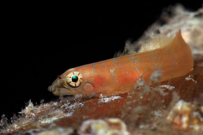 Diplecogaster tonstricula