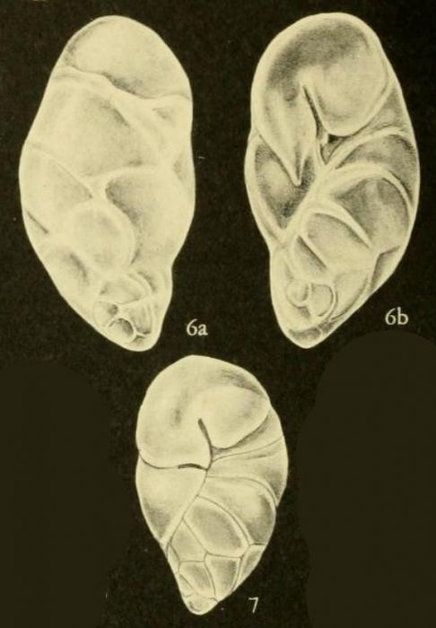 Robertinoides charlottensis (Cushman, 1925)
