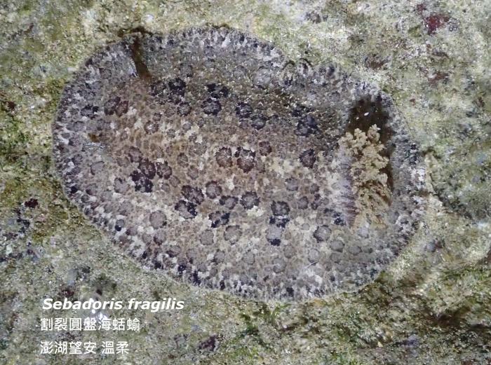Sebadoris fragilis