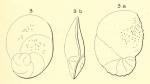 Rotalia elliptica d'Orbigny, 1852