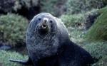 Ant Fur Seal bull