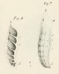 Marginulina raphanus d'Orbigny, 1826