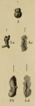 Nubecularia lucifuga Defrance, 1825