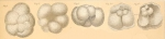 Globigerina pyriporosa Rhumbler, 1911