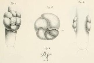 Rosalina globularis d'Orbigny, 1826