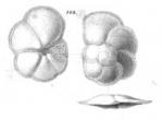 Discorbina sacharina Schwager, 1866
