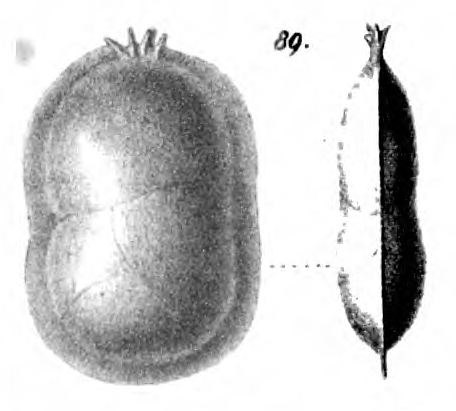 Cristellaria peregrina Schwager, 1866