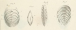 Vulvulina capreolus d'Orbigny, 1826