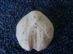 Skeleton heart-urchin