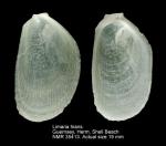 Limaria hians