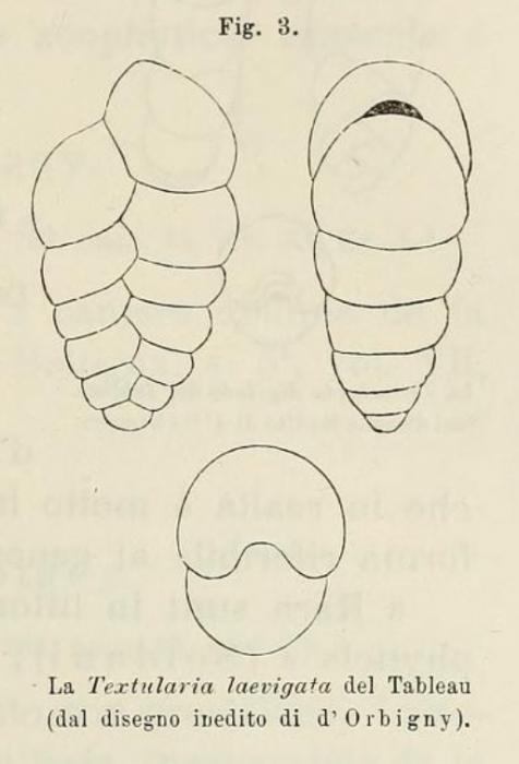 Textularia laevigata d'Orbigny, 1826