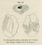Quinqueloculina undulata d'Orbigny, 1852