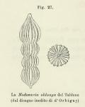 Nodosaria oblonga d'Orbigny in Fornasini, 1902