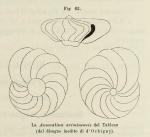 Anomalina ariminensis d'Orbigny in Fornasini, 1902
