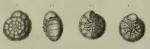 Rosalina inflata Seguenza, 1862