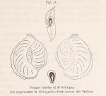 Quinqueloculina secans d'Orbigny, 1826