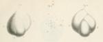 Polymorphina (Guttuline) communis d'Orbigny, 1826