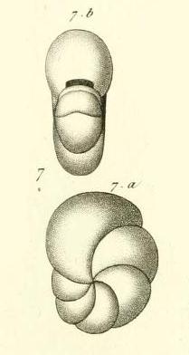 Nonionina laevigata d'Orbigny in Guérin-Méneville, 1832