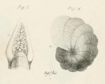 Dendritina arbuscula d'Orbigny, 1826