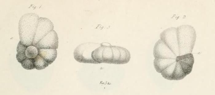 Anomalina punctulata d'Orbigny, 1826