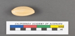 Quinqueloculina saxorum (Lamarck, 1804)=Pentellina pseudosaxorum