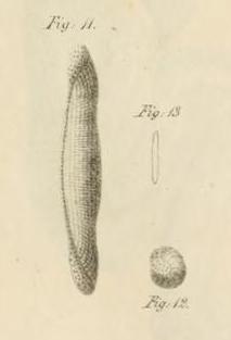 Alveolina quoii d'Orbigny, 1826