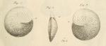 Amphistegina quoii d'Orbigny, 1826