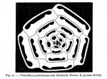 Pentellina pseudosaxorum Schlumberger, 1905