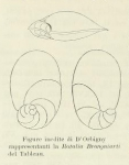 Rotalia brongnartii d'Orbigny, 1826
