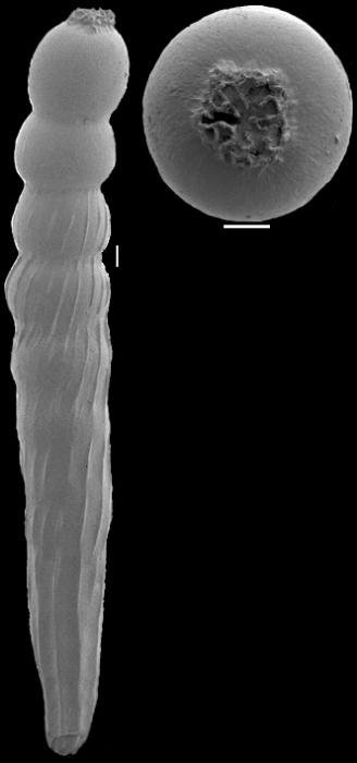 Anastomosa gomphiformis (Schwager, 1866) Identified specimen