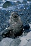 Antarctic Fur Seal stare
