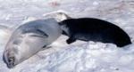 Crabeater Seal pup suckling