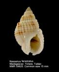 Nassarius fenistratus