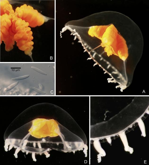 Ptychogena crocea Kramp & Dumas, 1925, living medusae