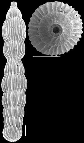 Orthomorphina perversa (Schwager, 1866) IDENTIFIED SPECIMEN