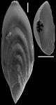 Mucronina compressa (Costa, 1855) IDENTIFIED SPECIMEN
