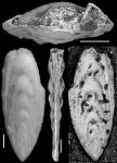 Plectofrondicularia ruthvenmurrayi Cushman & Stainforth, 1945 HOLOTYPE