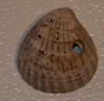Fossiele kokkelachtige (4)