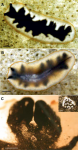 Pseudoceros rawlinsonae