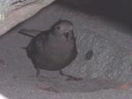 Wilson's Storm Petrel at nest