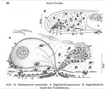 Haplogonaria psammalia