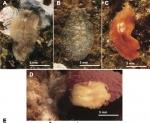Cycloporus papillosus