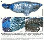 Amphiscolops potocani