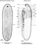 Hofstenia arabiensis