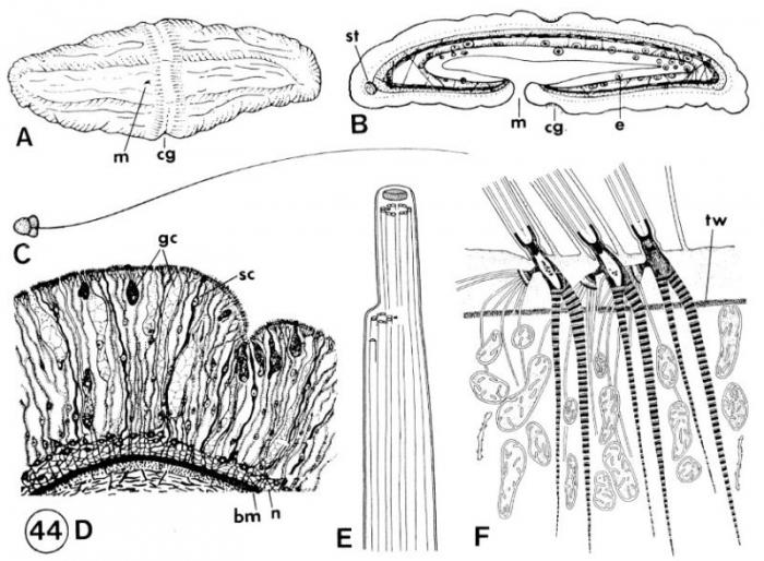 Xenoturbella bocki