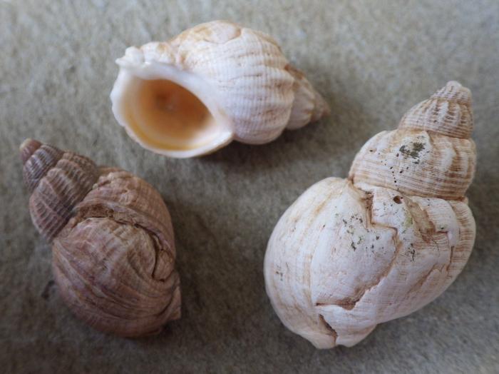 Buccinum undatum (L. 1758)