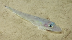 Bembrops sp., 259-675 m Conrad Seamount, Caribbean.  Photograph courtesy ofOcean Exploration Trust. Identificationfrom photograph by A. Quattrini et al. For more information see: Quattrini AM, Demopoulos AWJ, Singer R, Roa-Veron A, Chaytor JD (2017). Demersal fish assemblages on seamounts and other rugged features in the northeastern Caribbean. Deep Sea Research Part I: Oceanographic Research Papers123: 90-104.