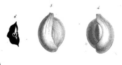 Quinqueloculina partschii d'Orbigny, 1846