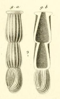Articulina nitida d'Orbigny in Guérin-Méneville, 1832