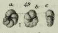 Anomalina elegans d'Orbigny in Geinitz, 1846